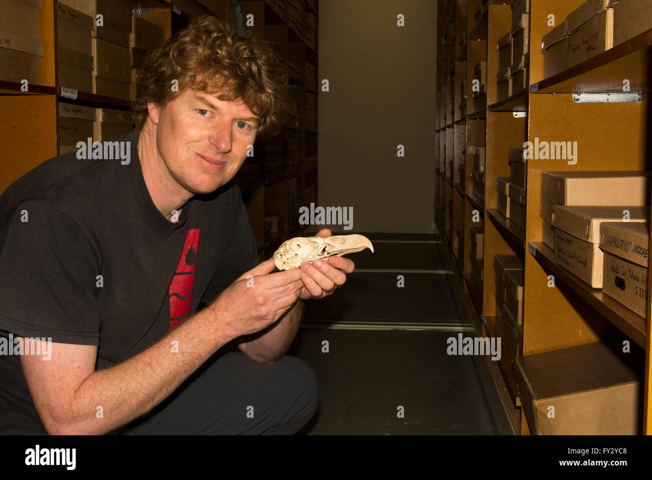 Curator Alan Tennyson shows in Te Papa National Museum in Wellington in New Zealand the skull of a giant Haast's - Stock Image