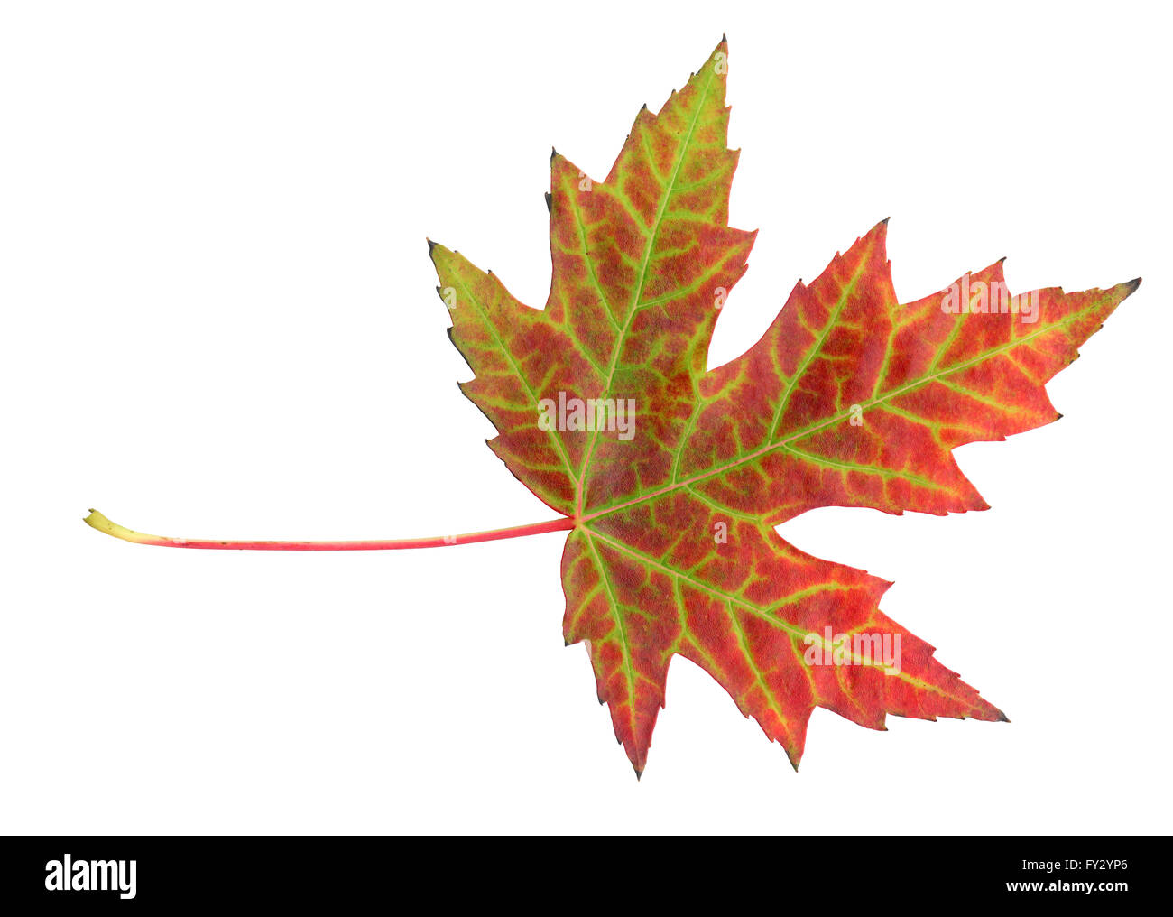 Maple leaf in autumn, Acer platanoides, leaf surface, isolated - Stock Image