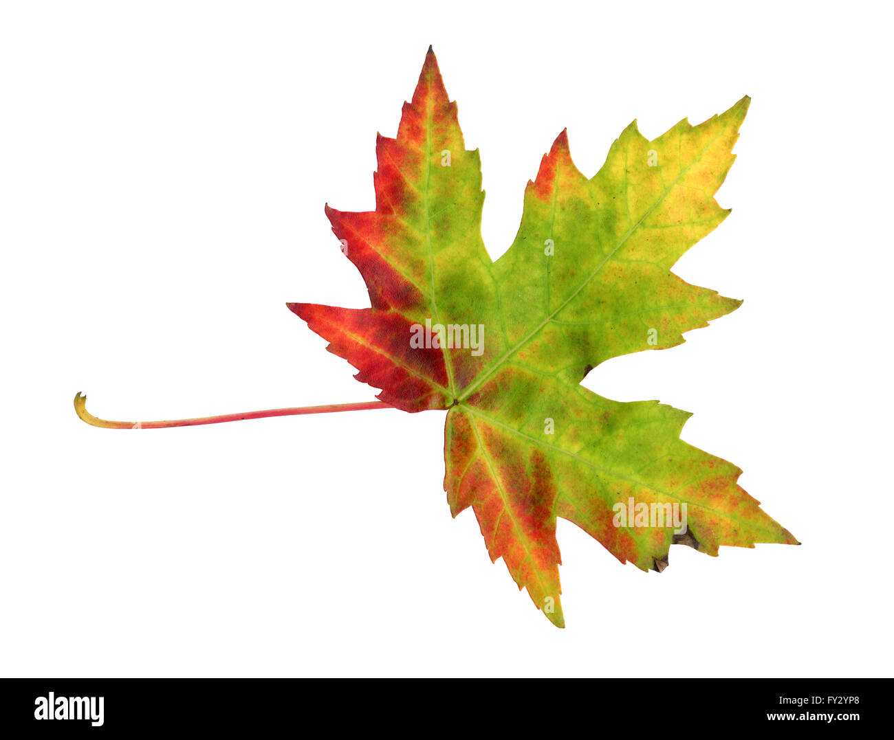 Maple leaf in autumn, Acer platanoides, top side of the leaf surface, isolated - Stock Image