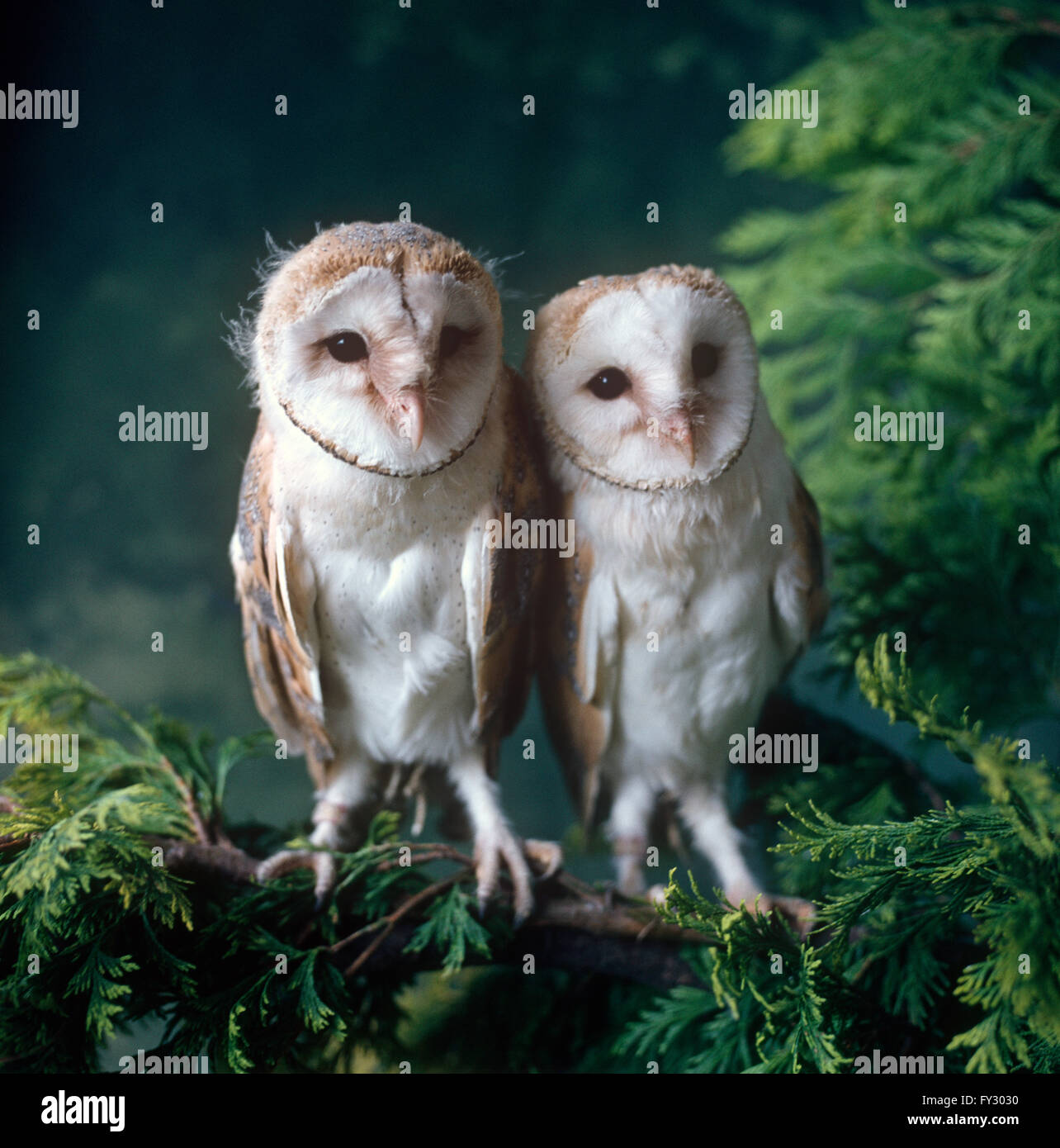 Two Barn owls sitting on a branch - Stock Image