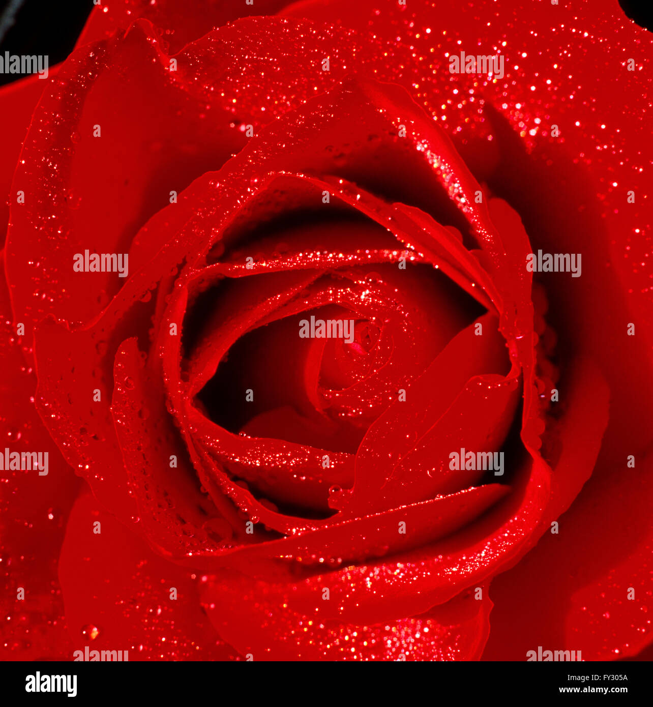 Close-up of a red rose with water droplets on its leafs. - Stock Image