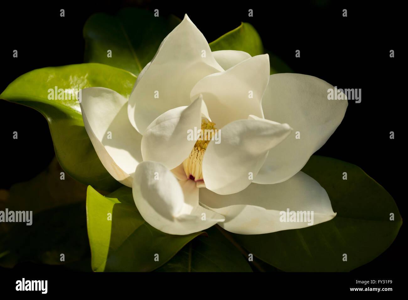 Magnolia Grandiflora Goliath A Summer Flowering Magnolia At The