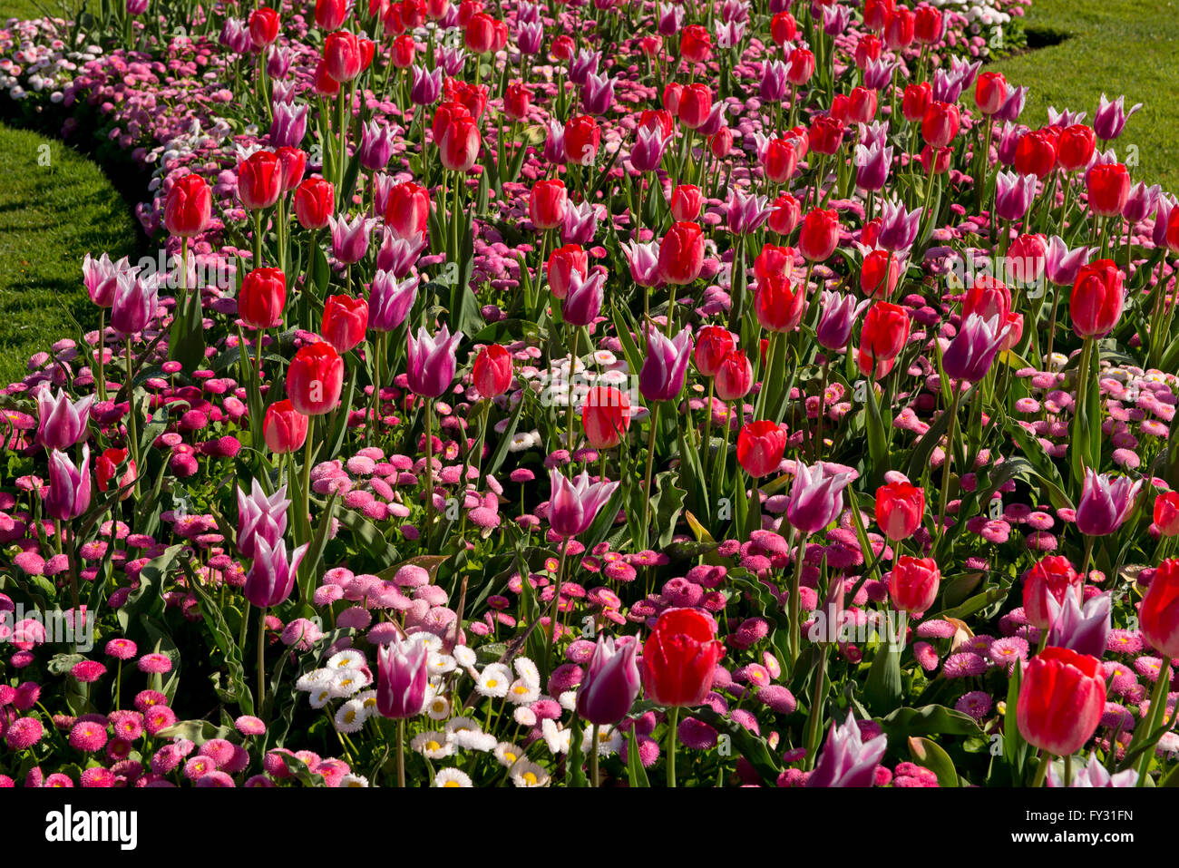pink and red tulips in a bed at kew gardens, london, uk stock photo