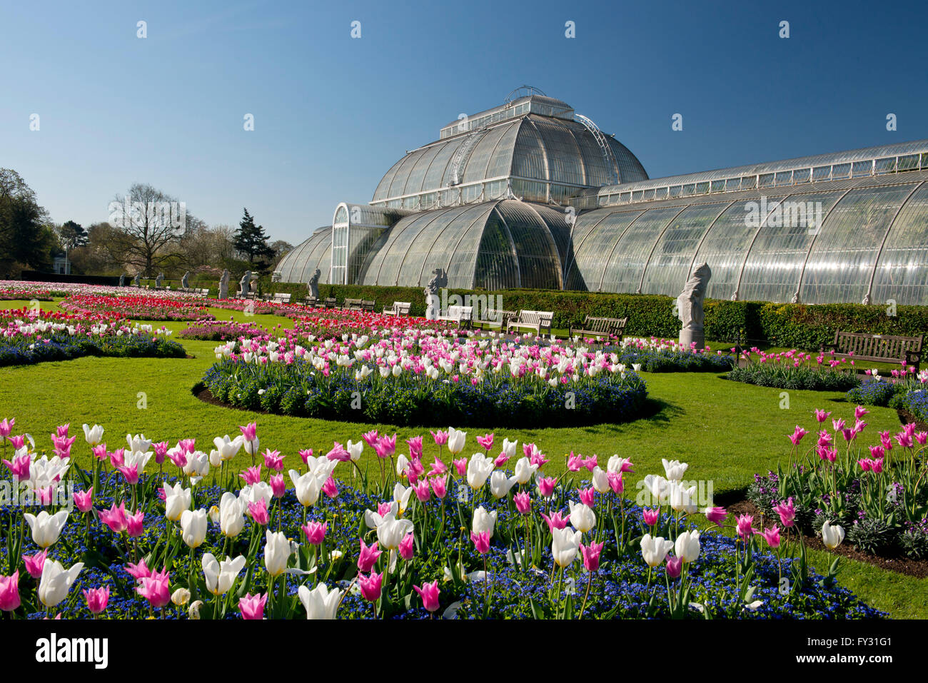 Pink and white tulips on a parterre in front of the Palm House at Kew Gardens, London, UK - Stock Image