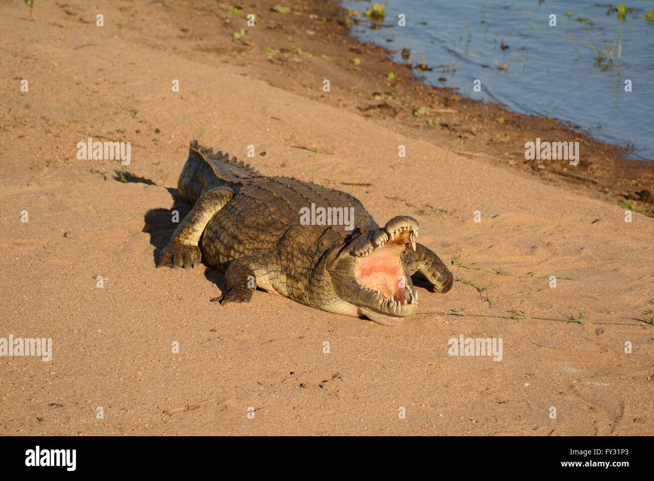 Large Nile Crocodile basking in the sunshine with mouth agape to facilitate cooling to control his body  temperature - Stock Image