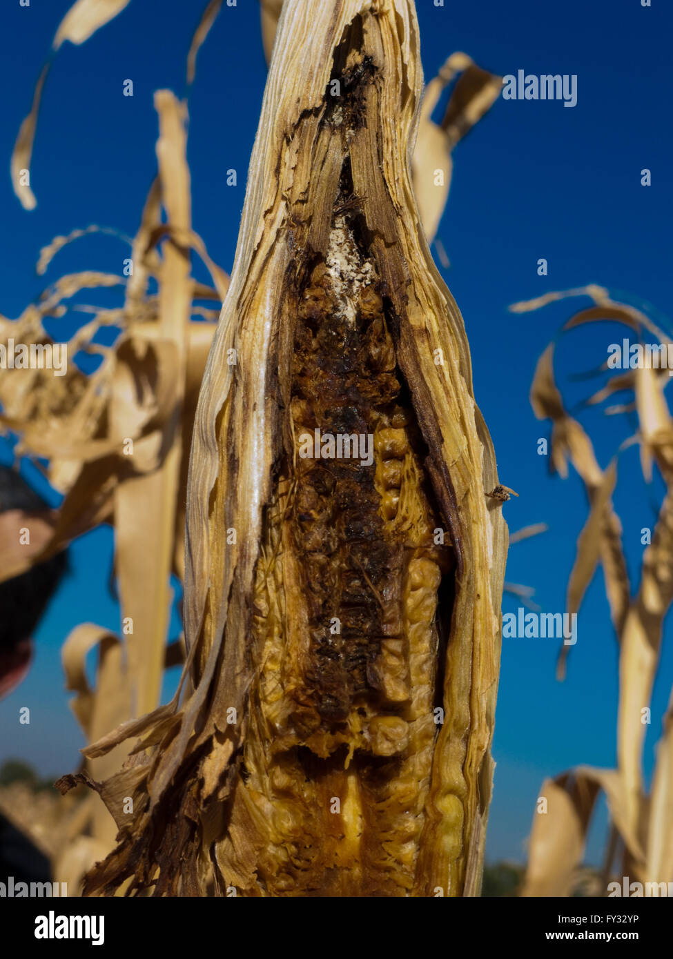 Insect pests eaten a maize cob Stock Photo