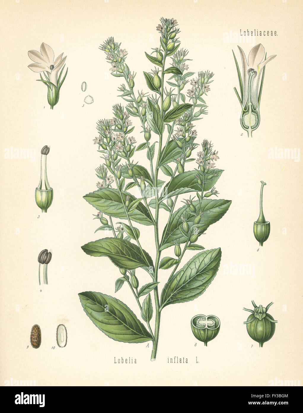 Indian Tobacco Or Puke Weed Lobelia Inflata Chromolithograph After