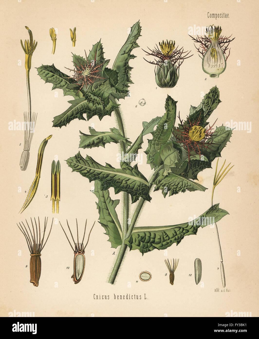 St. Benedict's thistle, Centaurea benedicta (Cnicus benedictus). Chromolithograph after a botanical illustration - Stock Image