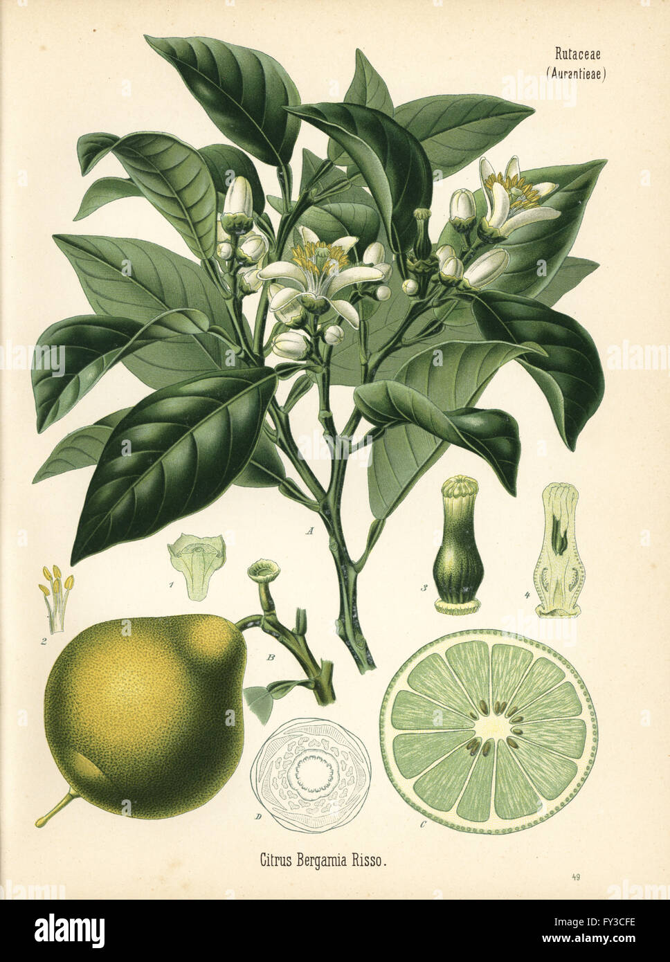 Bergamot Orange Citrus Bergamia Chromolithograph After A Botanical Illustration From Hermann Adolph Koehlers Medicinal Plants Edited By Gustav Pabst