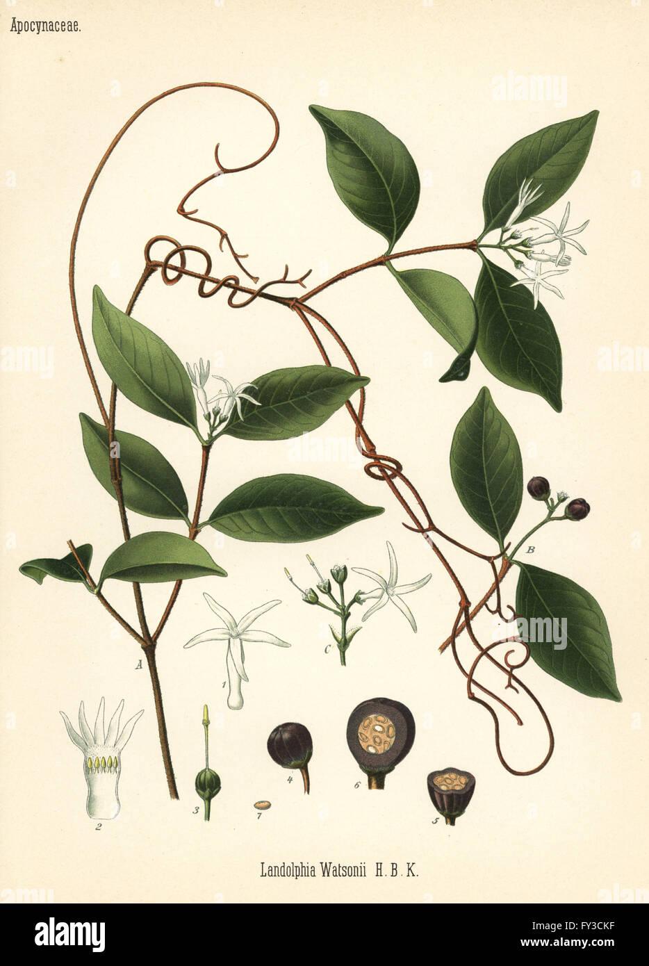 Watson's landolphia, Landolphia watsoniana (Landolphia watsonii). Chromolithograph after a botanical illustration - Stock Image