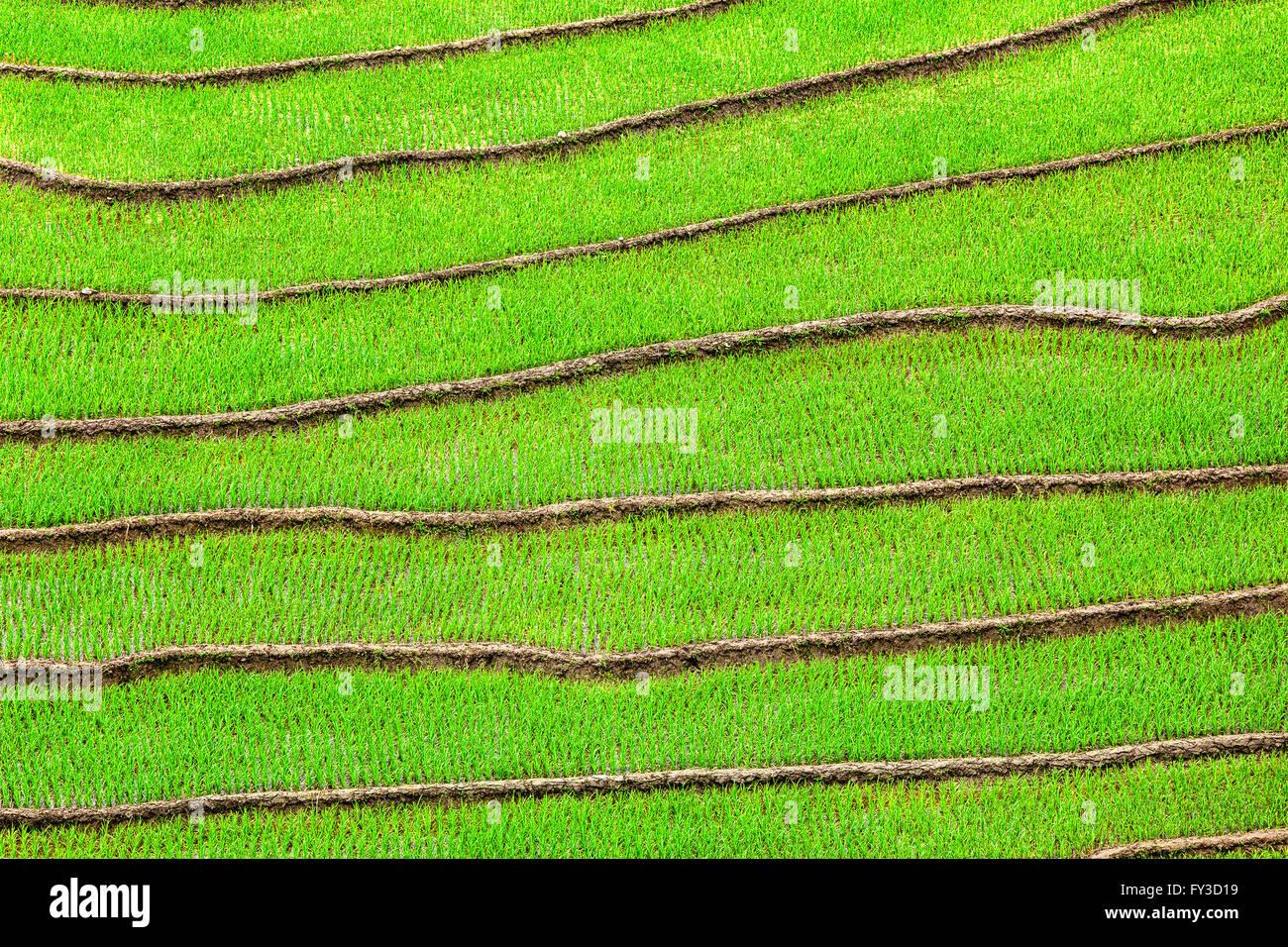 Rice field terraces - Stock Image