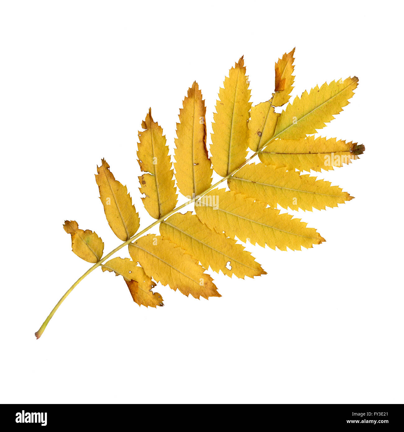 Autumn leaves of a rowan, under-surface, Sorbus aucuparia Stock Photo