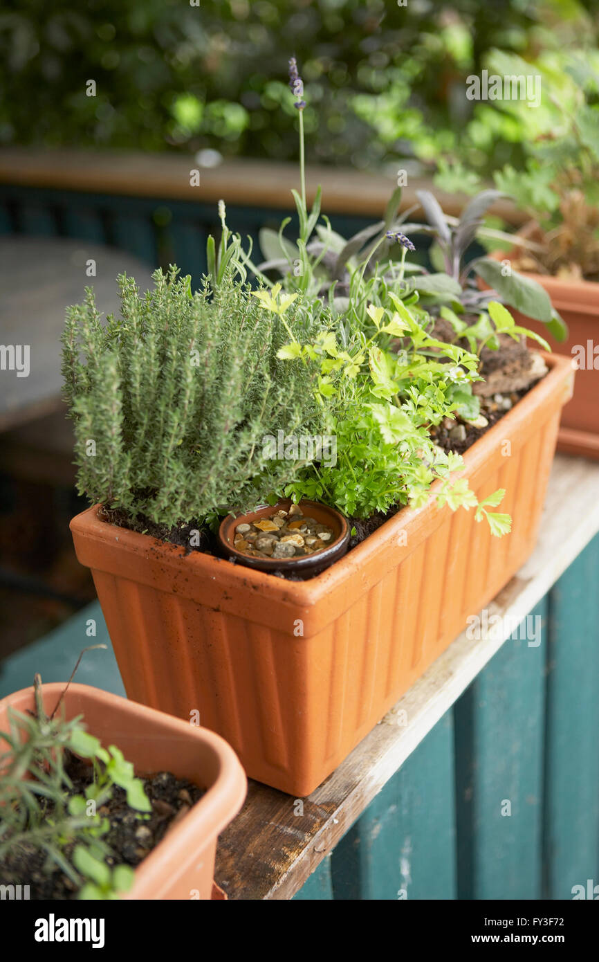 Window box containing herbs, including sage, lavender, rosemary, coriander, on balcony, close-up - Stock Image