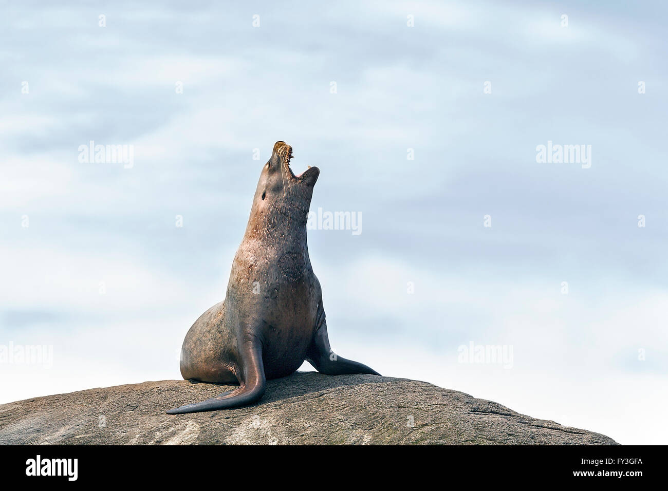 Steller Sea Lion (Eumetopias jubatus) calling from a prominent rock in a coastal rookery in Alaska - Stock Image