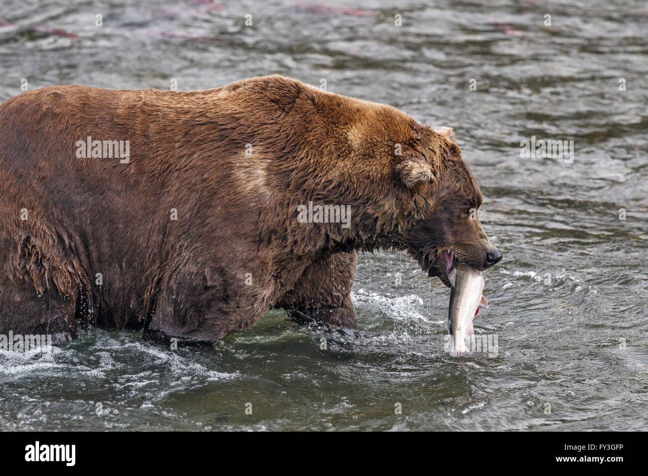 Male brown bear catching spawning salmon at Brooks Falls, Katmai National Park, Alaska - Stock Image