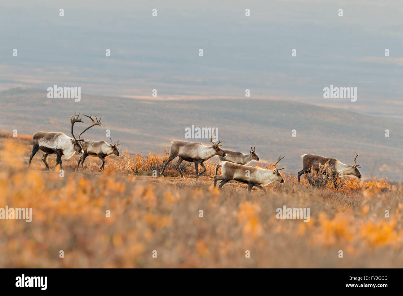 A bull caribou follows his harem in the Alaska tundra during the autumn rut. - Stock Image