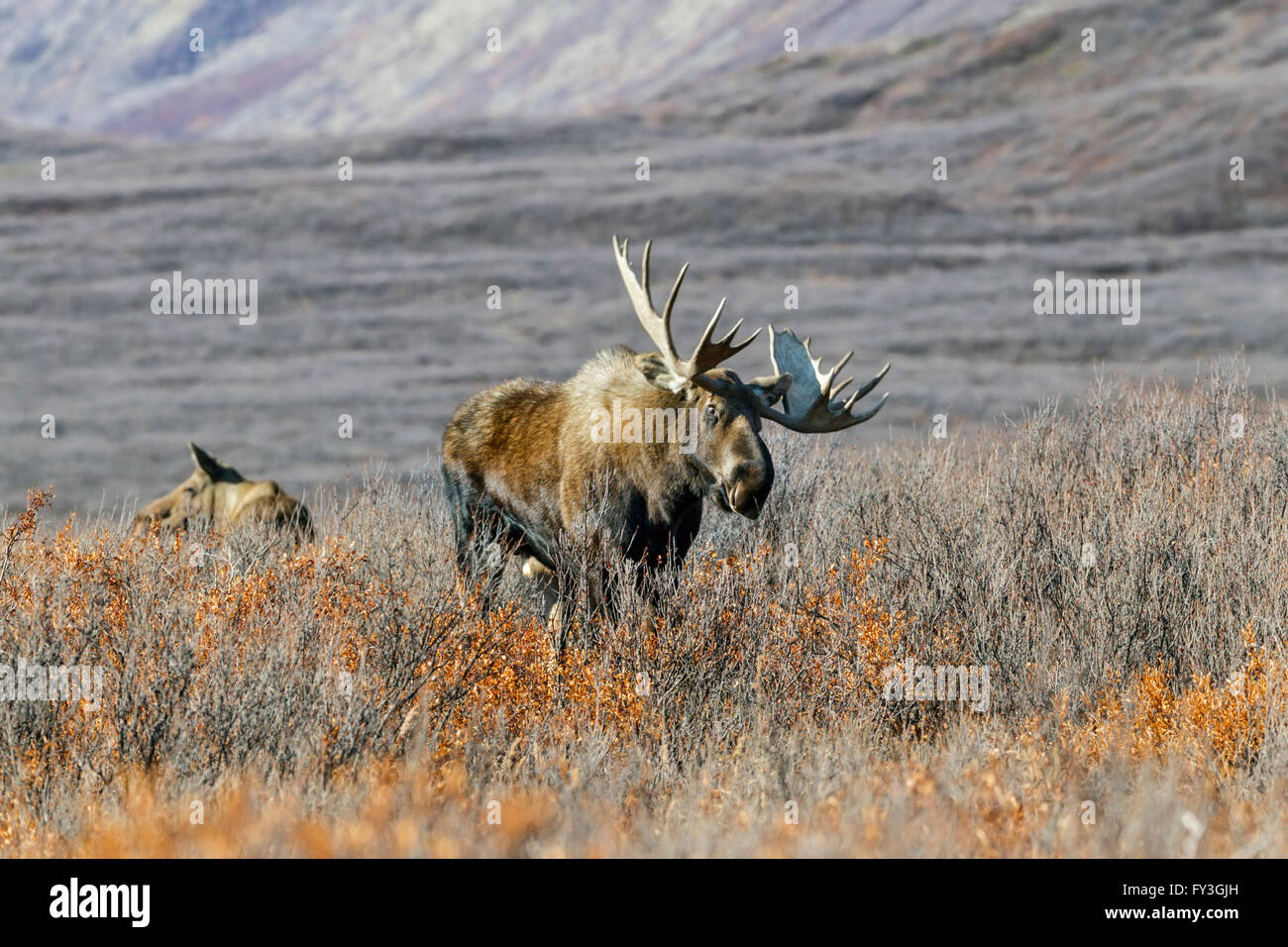 Bull moose feeding in the remote tundra in the Alaska Range mountains during the autumn rut - Stock Image