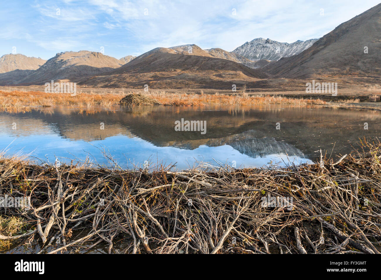 A beaver dam and pond reflecting the Alaskan Range mountains. Stock Photo