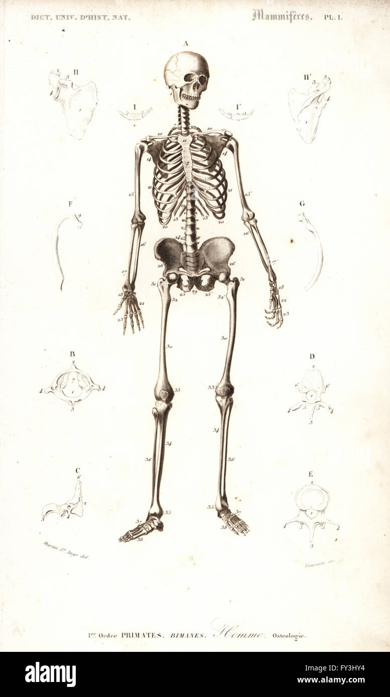 Human skeleton from the front. Engraving by Fournier after an Stock ...