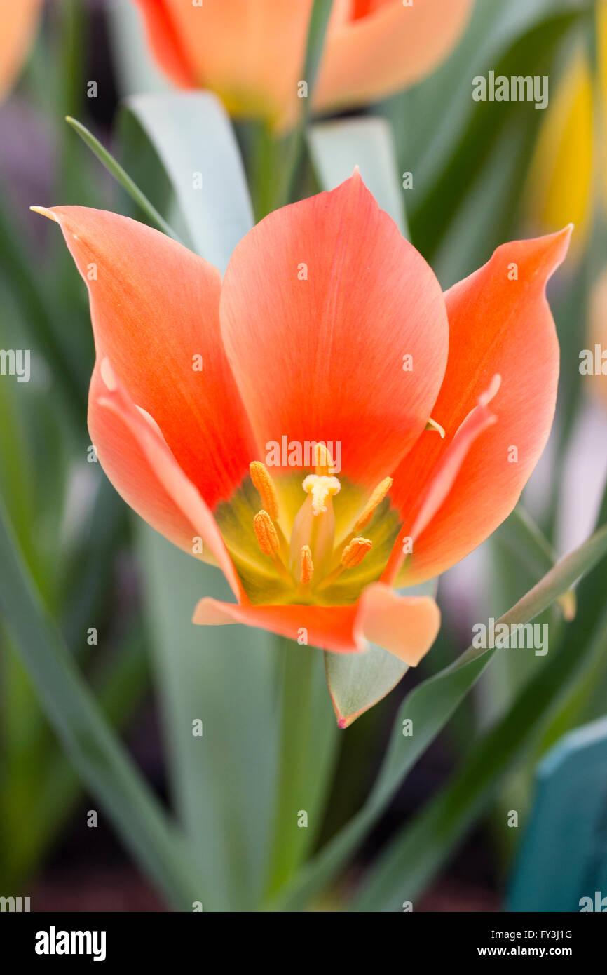 Single flower of the spring blooming botanic tulip, Tulipa linifolia (Batalinii Group) 'Salmon Jewel' - Stock Image