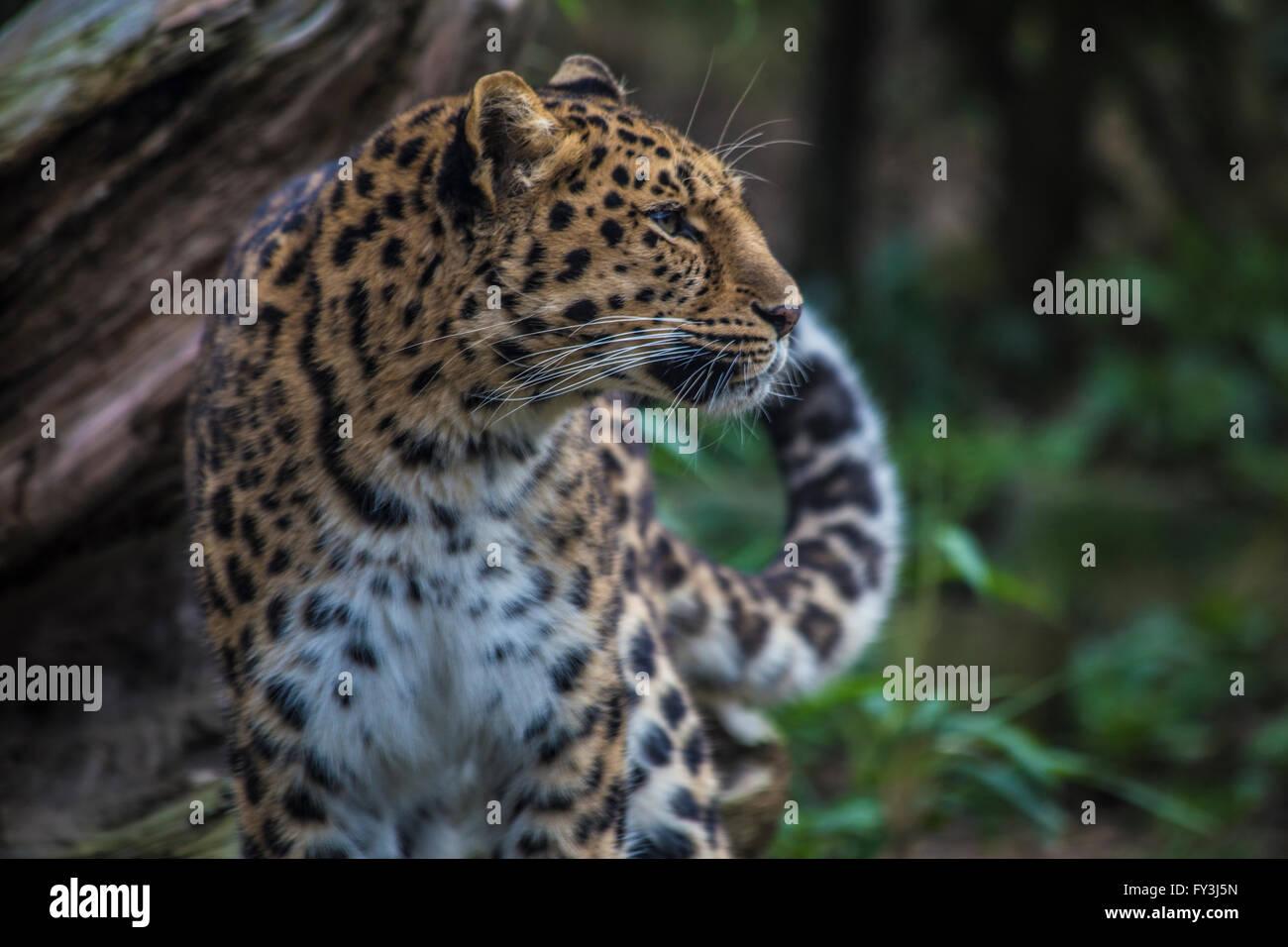 Amur Leopard (Panthera pardus orientalis) Looking Right - Stock Image