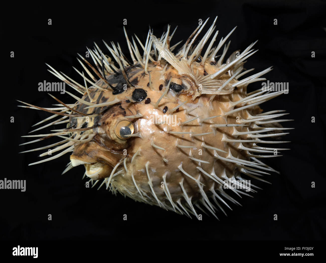 Puffer Fish on Black Background Stock Photo: 102727995 - Alamy
