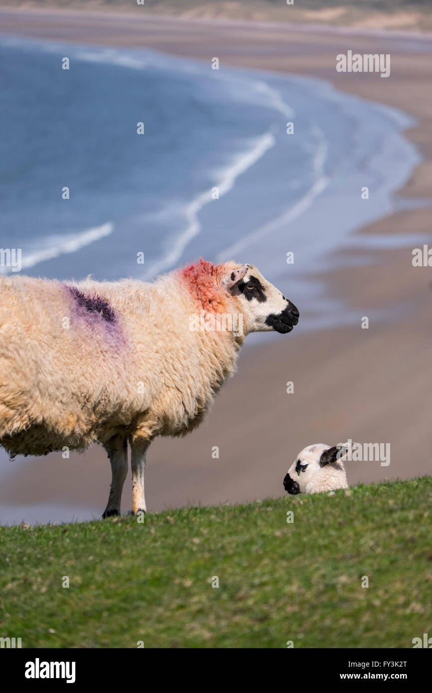 Ewe and lamb on cliff tops near beach. - Stock Image