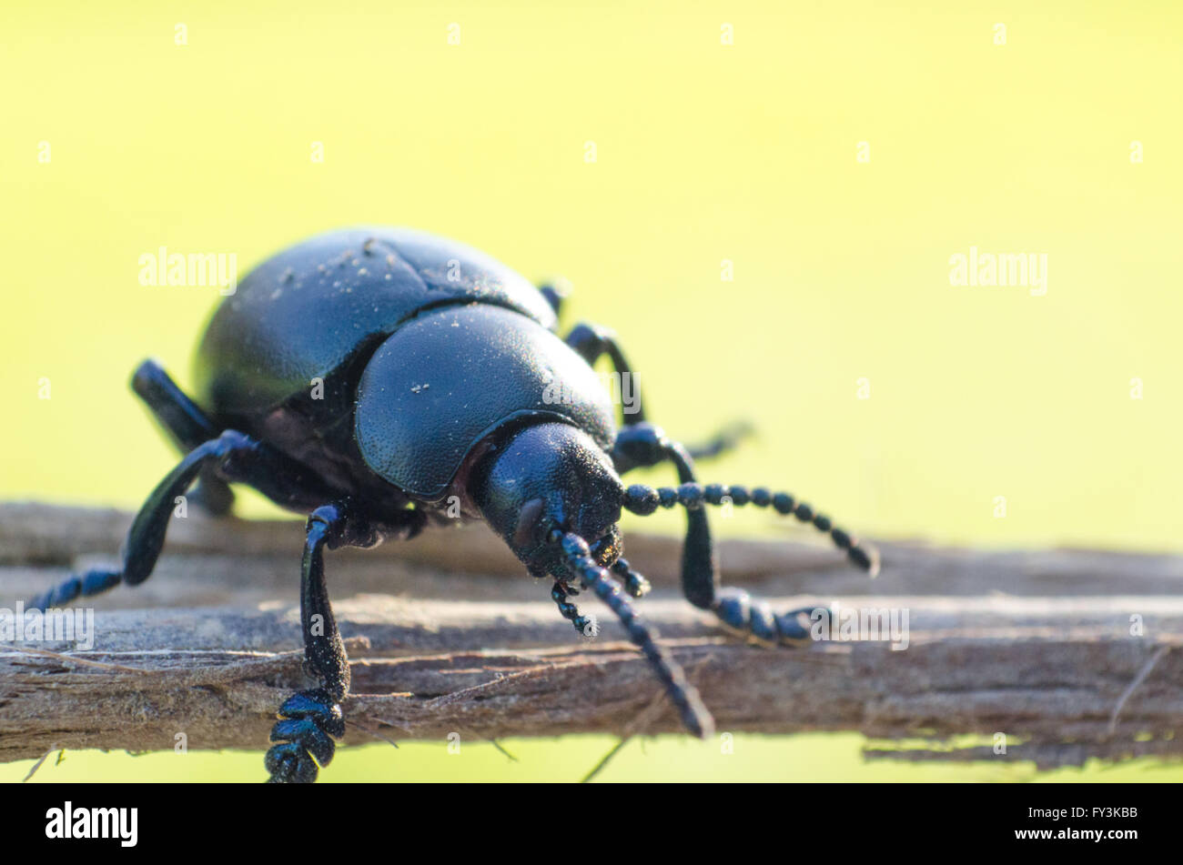 Beetle sitting on a stick - Stock Image