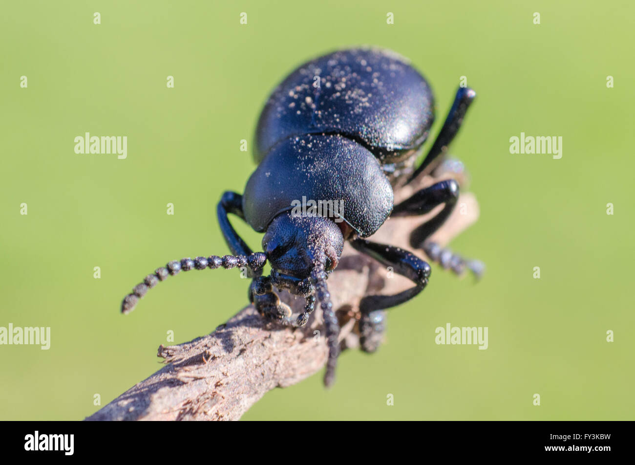Beetle walking on a stick - Stock Image