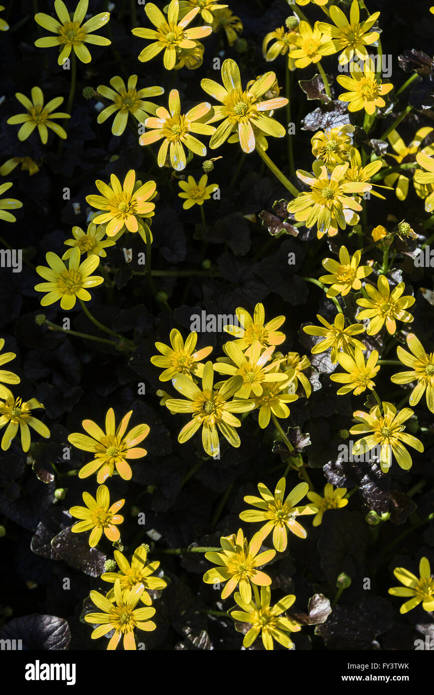 Clump of Bright Yellow Flowers Lesser Celandine Brazen Hussy in an Alsager Cheshire Garden England United Kingdom Stock Photo
