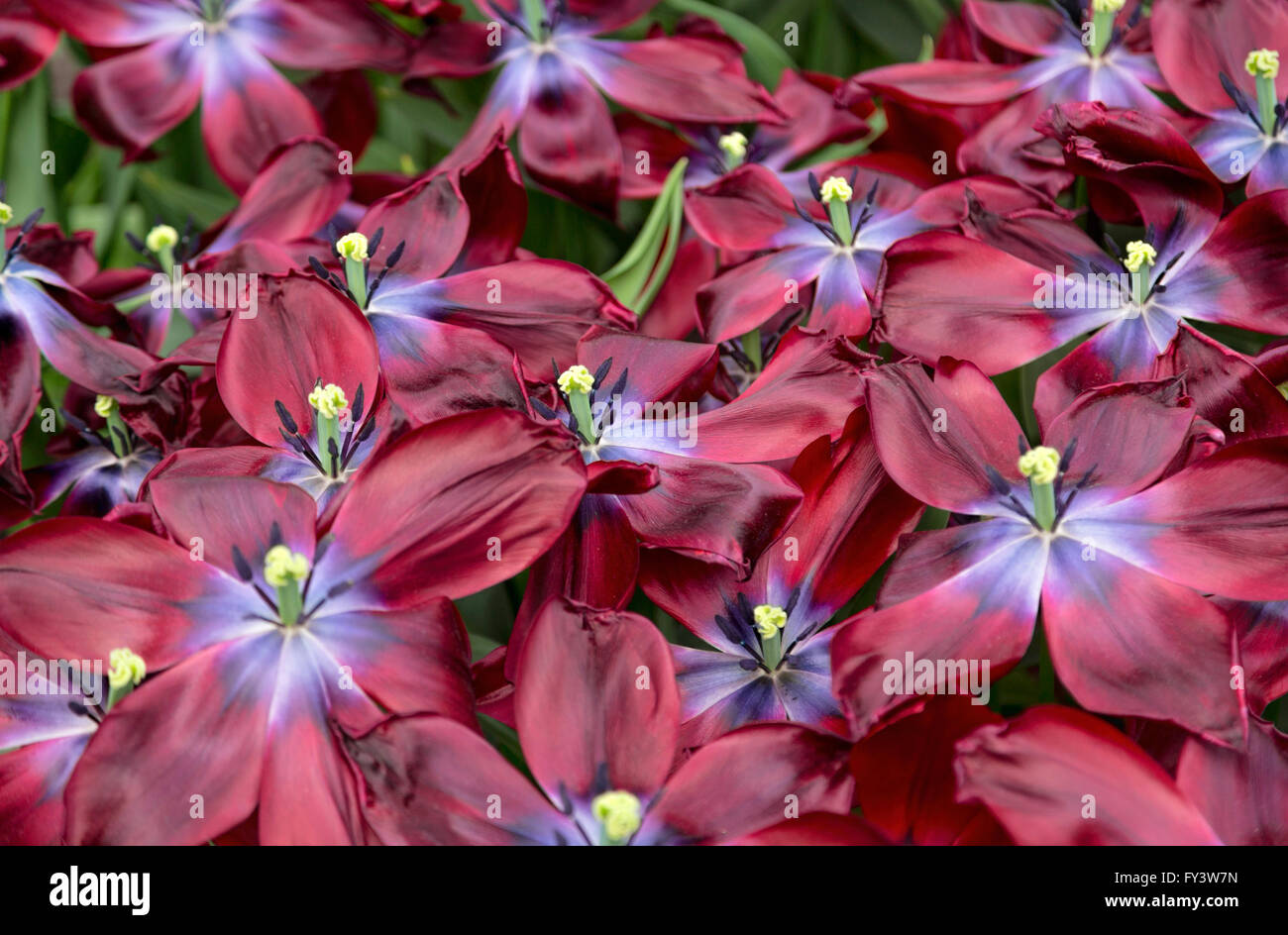 Tulipa 'Lasting Love' in the Willem-Alexander Pavilion at Keukenhof, one the world's famous flower gardens, - Stock Image