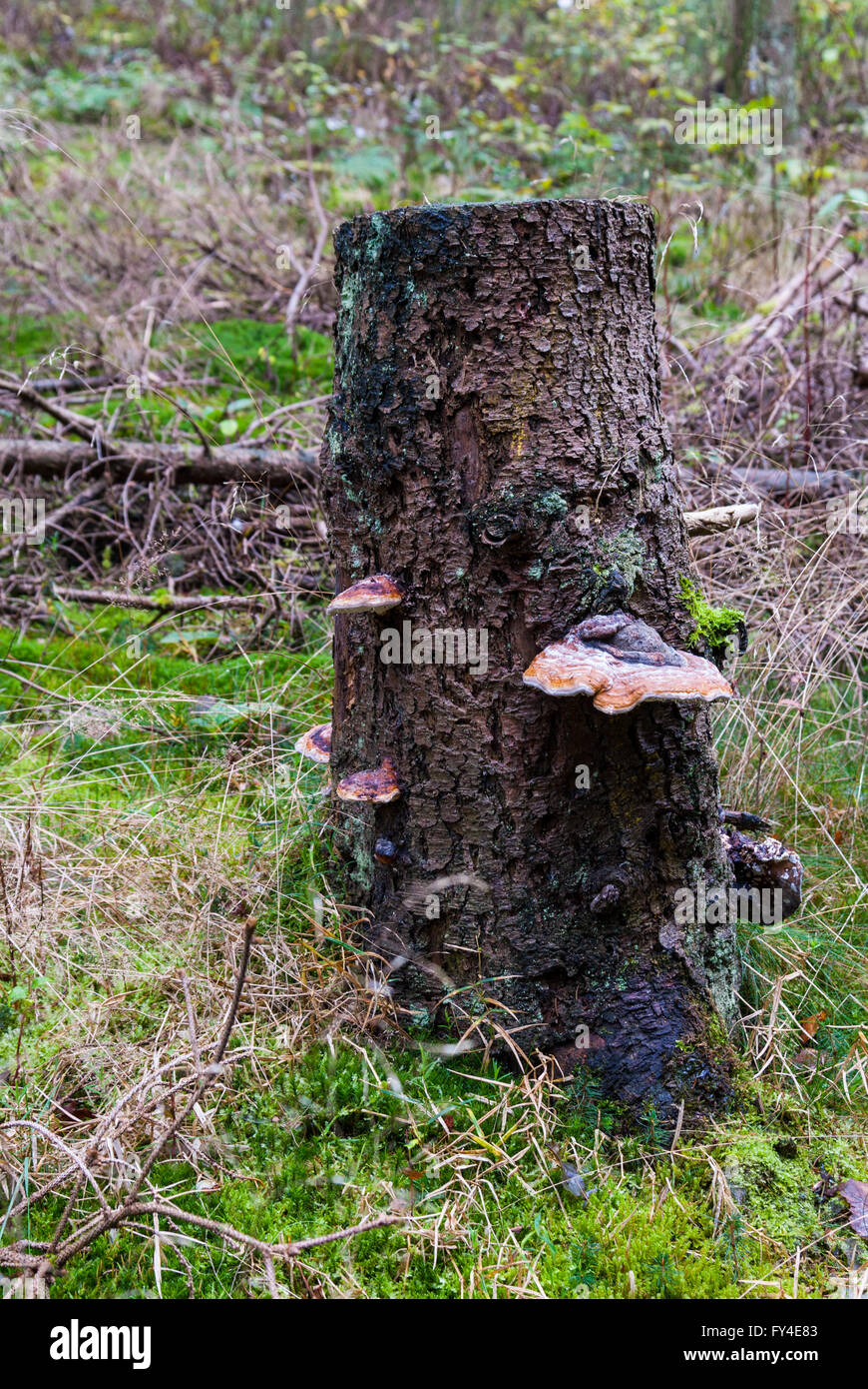 Red Banded Polypore, Fomitopsis pinicola, on a dead conifer - Stock Image