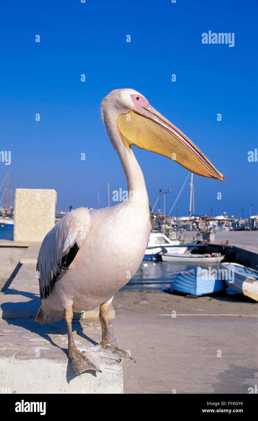 Pelikan in the harbour of Pafos, South CYPRUS, Europe Stock Photo