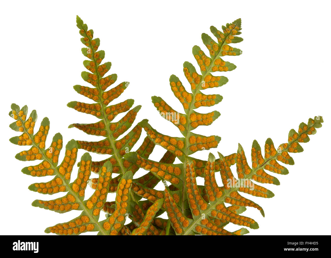The underside of  Licorice fern leaves 'Polypodium glycyrrhiza' showing reproductive spores - Stock Image