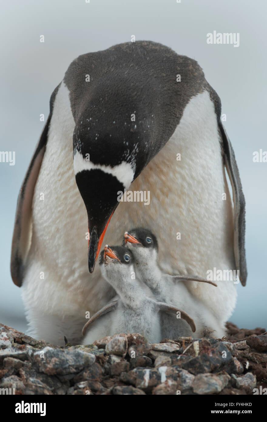 Gentoo Penguin with chicks (Pygoscelis papua)  Port Lockroy, Antarctic Peninsula, Antarctica Stock Photo