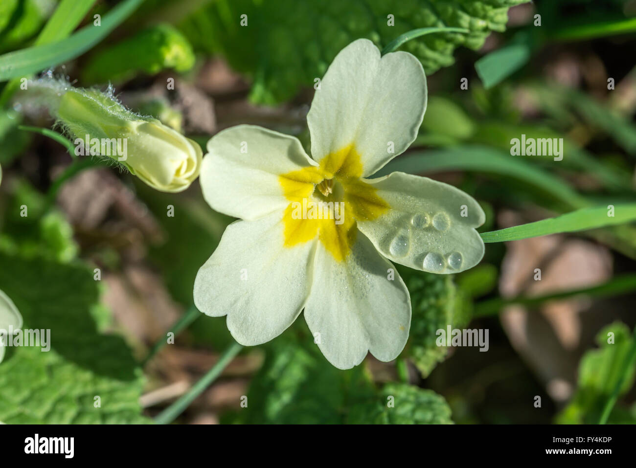 Wild primrose flower with dewdrops on a sunny Spring morning - Stock Image