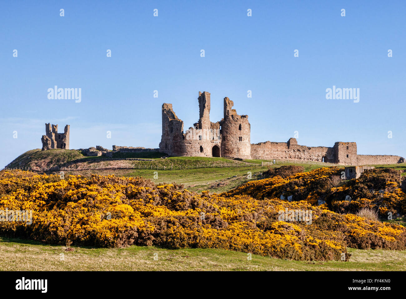 Dunstanburgh Castle in Spring, with yellow gorse in flower, Northumberland, England, UK - Stock Image