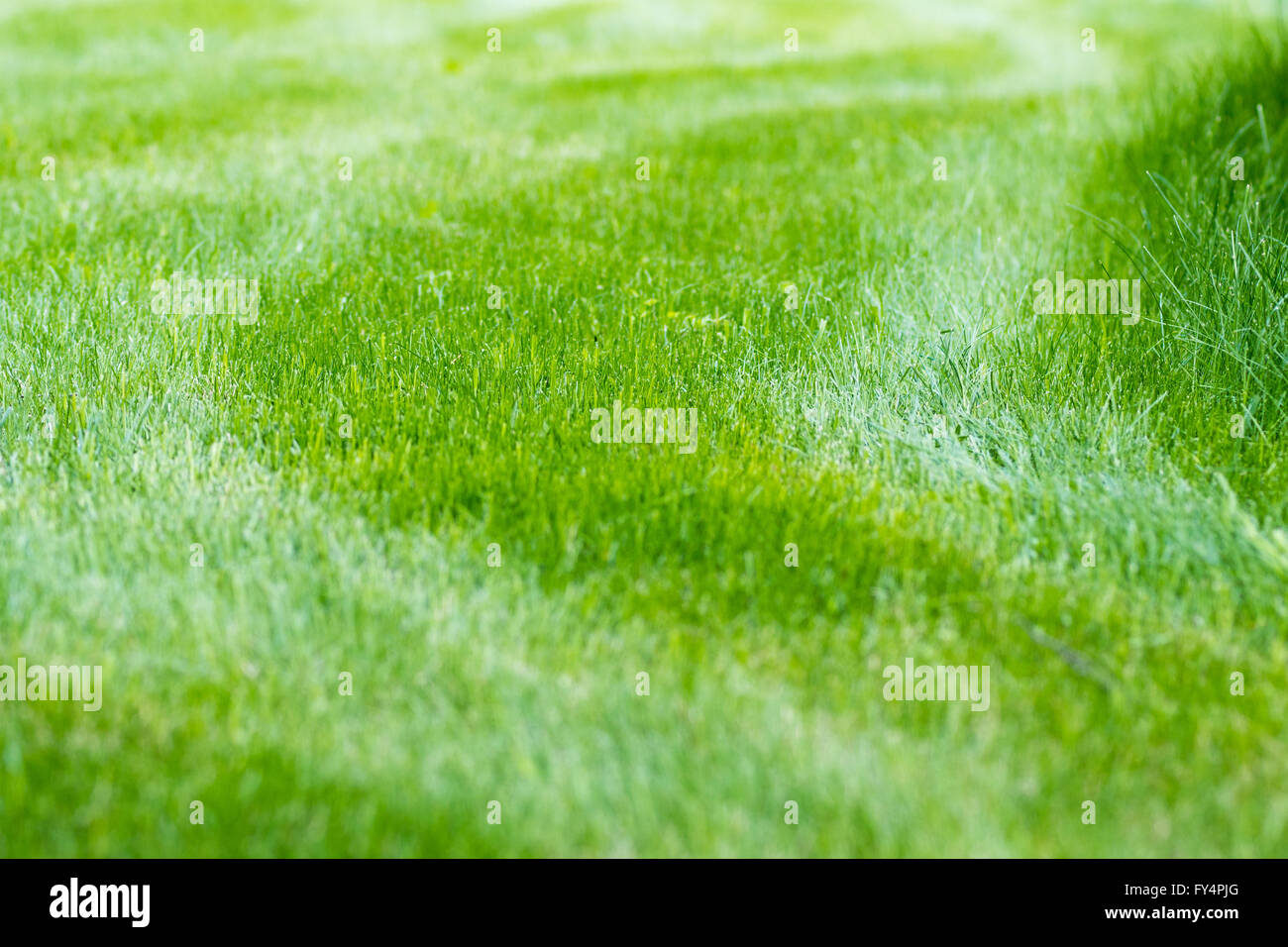 lawn grass with stripes - Stock Image