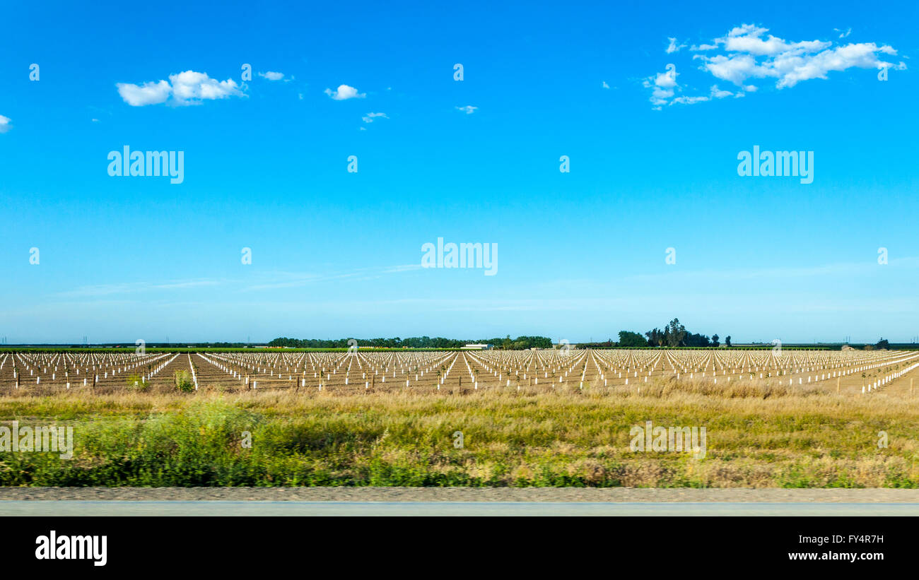 A newly planted field of nut trees in the California Central valley in the midst of record drought April 2016 - Stock Image