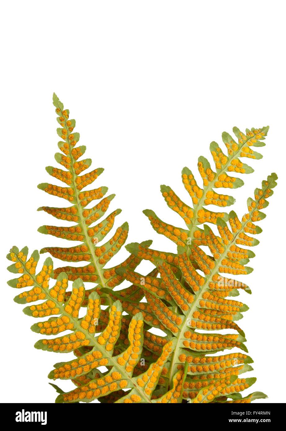 'Licorice Fern' 'Polypodium glycyrrhiza' Four fern leaves showing orange dots reproductive spores - Stock Image