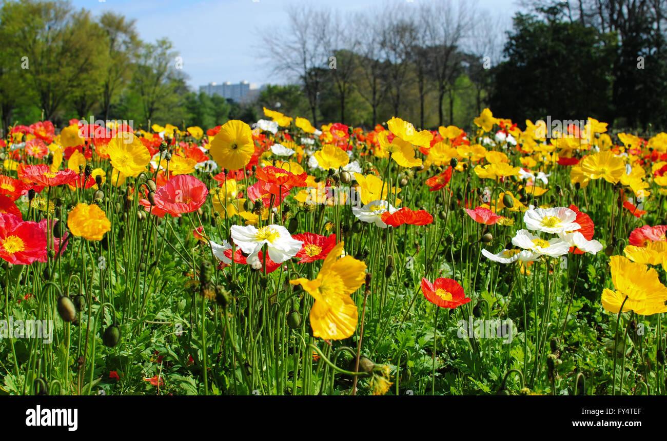 Poppy Flower Symbol Spring In Stock Photos Poppy Flower Symbol