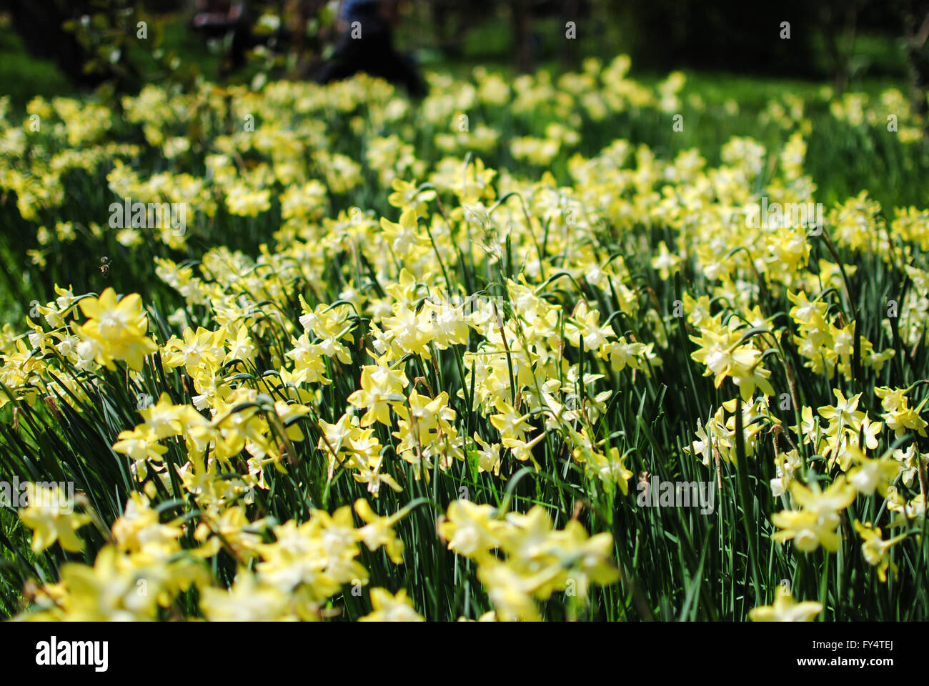 The daffodil is the national flower of Wales. Il is also called jonquil. Stock Photo
