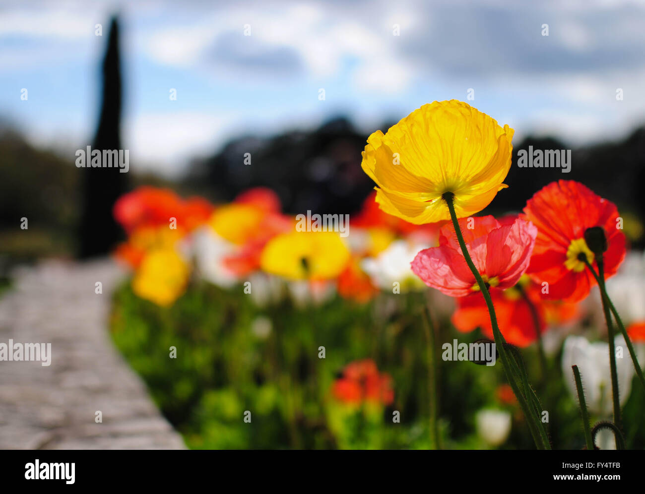 The Poppy Flower Is A Symbol Of The Spring In France Stock Photo