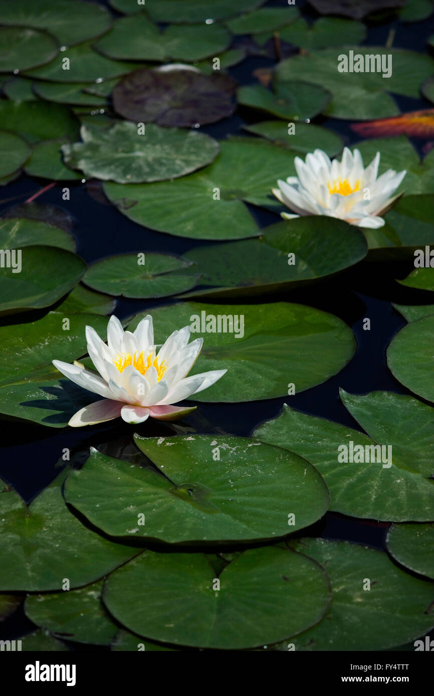 Beautiful sacred white water lilies (waterlilies), a rhizomatous hydrophilic herbs, surrounded by floating lily - Stock Image