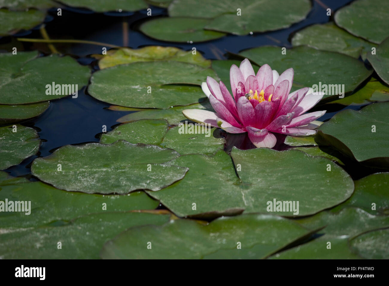 Closeup of a violet color water lily (waterlily plant) hydrophilic herb blossom and green lily pads floating on - Stock Image