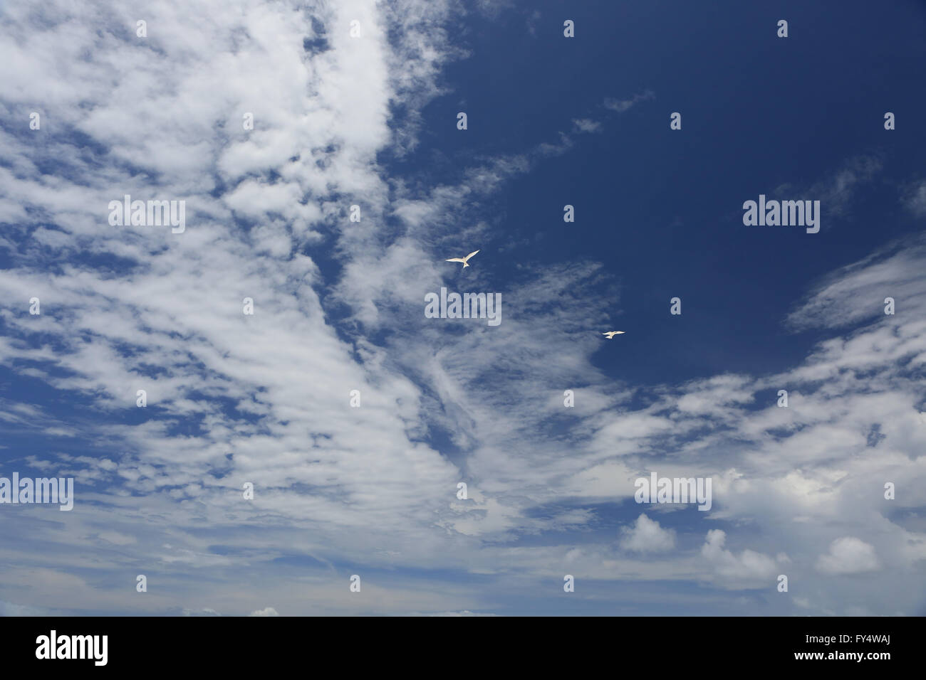 White, fluffy clouds and white fairy tern birds in the blue sky - Stock Image