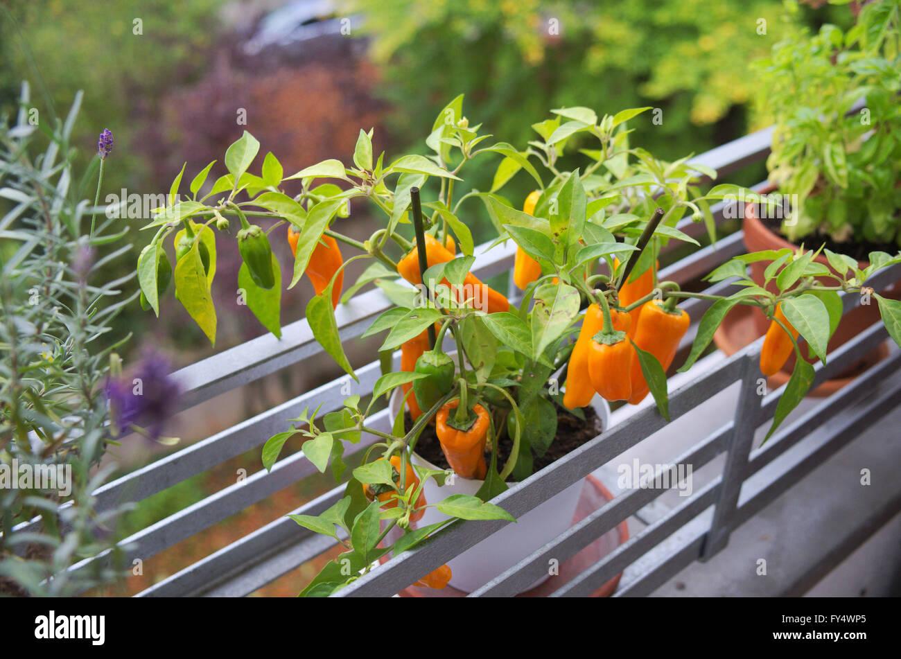 Prächtig Capsicum annuum pepper yellow balcony plant fruits paprika Stock @EY_67