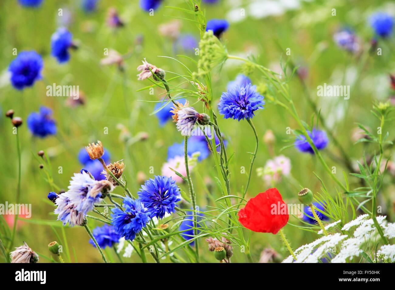 Poppy and cornflower wild spring flowers in bloom in meadow stock poppy and cornflower wild spring flowers in bloom in meadow background mightylinksfo