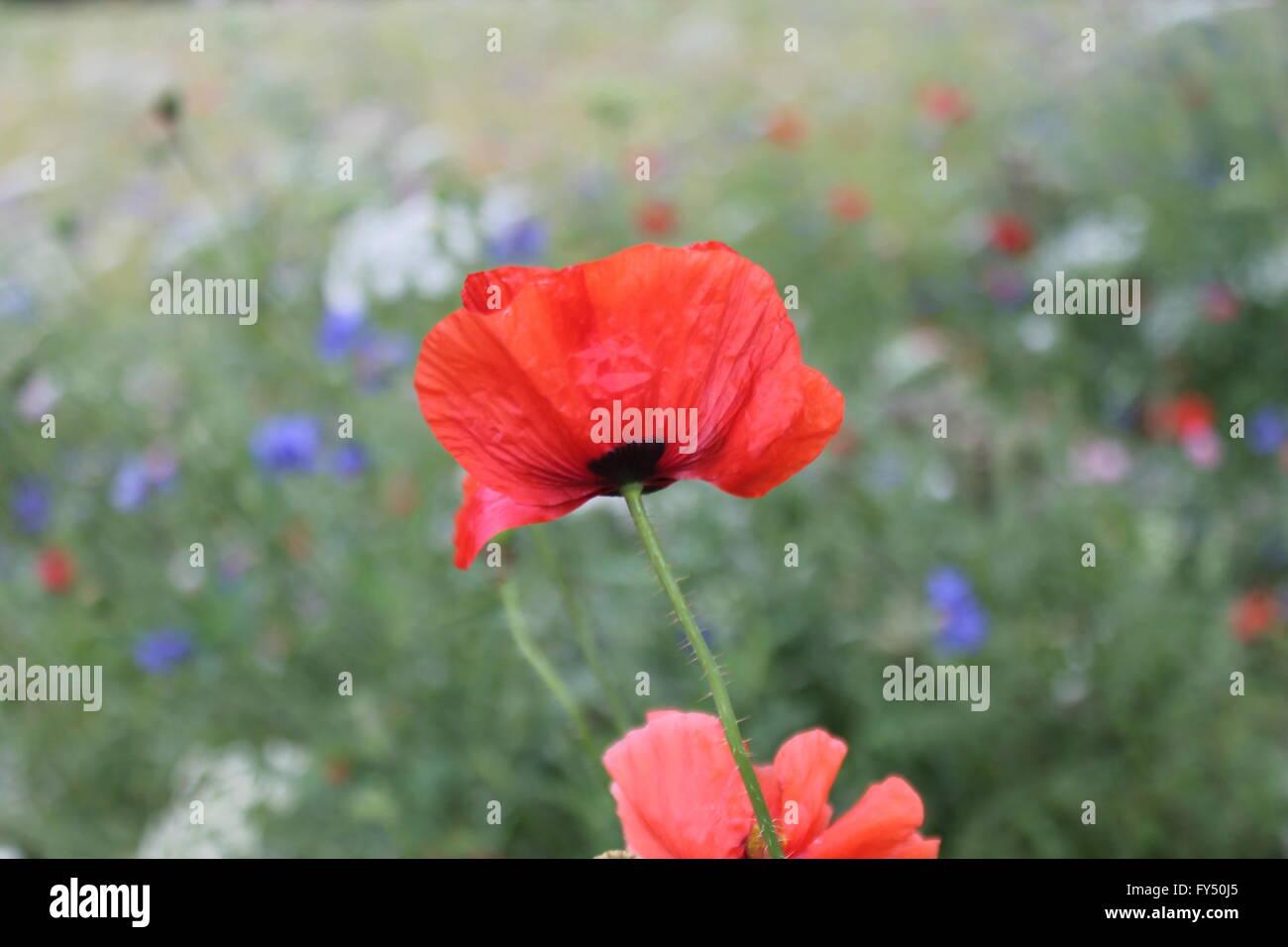 Flower Meadow Wild Spring Flowers In Bloom In Uk England Britain