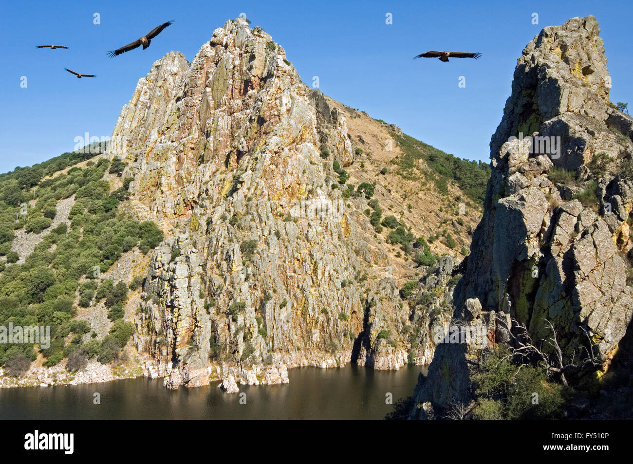 Griffon vultures (Gyps fulvus) flying in front of Peñafalcon, rock housing a colony of vultures at Monfragüe, - Stock Image